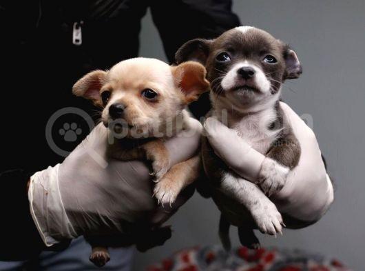 Teacup Chihuahua Bebekler