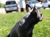 Blue French Bulldog Yavrular