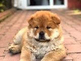 Çin Aslanı-Cov Cov Bebekler