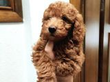 Red Brown Toy Poodle Bebekler