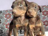 Üst Kalite Doberman Bebeklerimiz Yeni Ailelerini Bekliyor