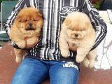 Chow Chow Yavruları