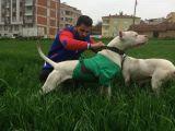 Irk Garantili Dogo Argentino