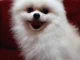 Aşılı Karneli Mikrocipli Pasaportlu Pomeranian Boo