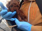 Gerçek Red Brown Toy Poodle