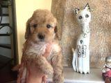 Toy Poodle Dişi Yavru