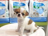 Chihuahua Yavruları