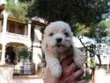 Maltese Bebeklerim