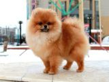 Teddy Face Pomeranian