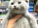 A kalite Scotısh yavrularımız Tunalı petshop güvenilir