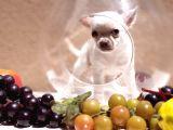 Safkan Şivava Chihuahua Yavruları