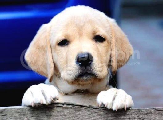 Labrador Retriever Yavruları