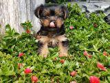 Irk ve Sağlık Garantili Yorkshire Terrier