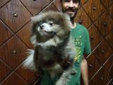 Pomeranian Boo Blue