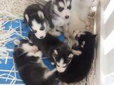 Orjinal Sibirya Kurdu(Husky) Bebekleri
