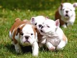 Show Kalite İngiliz Bulldog Yavrularımız