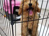 5 Aylık Erkek Eğitimli Red Toy Poodle Ankara