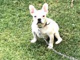 5 Aylık Erkek  French Bulldog