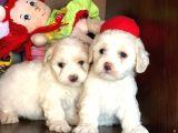 Maltese Terrier Yavrularımız Gelmiştir