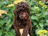 Toy Poodle Chocolate