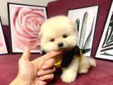 Teddy Bear Face Pomeranian Yavrularımız