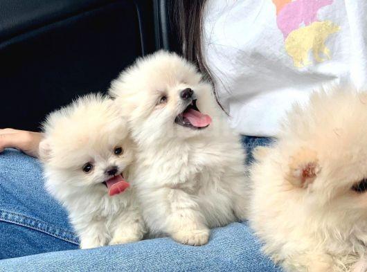 A Kalite Pomeranian Boo Teddy Bear