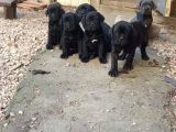 Blue Ve Black Dev Italiano Cane Corso Puppy