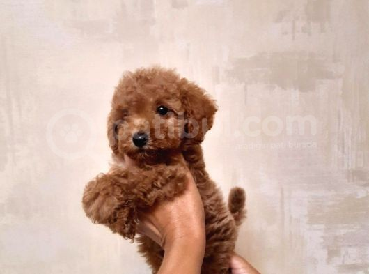 Tea Cup Poodle