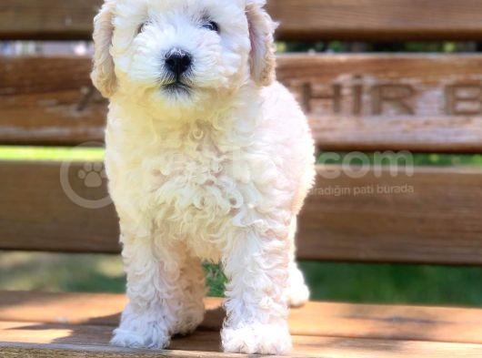 Beyaz Poodle