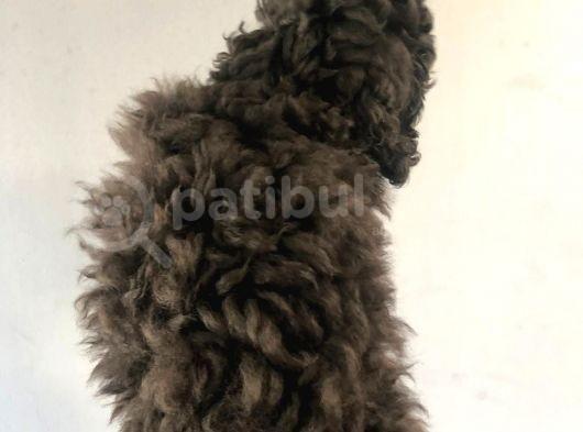 Silver Poodle