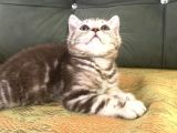 Tiger Tabby British Shorthair