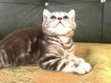 Tiger Tabby British Shorthair