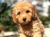 Muhteşem Güzellikte Erkek Poodle Yavrumuz