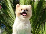 Tedy Bear Pomerian Boo