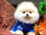 Güvencesiyle Pomeranian Boo Yavrularımız