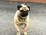 Pug cinsi köpek pablo 3 4 yaşlarında nefes darlığı var pablo diye çağırıldığında hemen gider