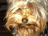 Teacup yorgshire terier yavruları