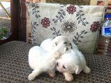Adana dan Maltese Terrier Yavrular