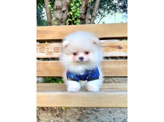 Safkan ve Sağlıklı Pomeranian Boo Yavrularımız