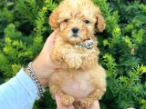 Mini boy teacup poodle bebeğimiz