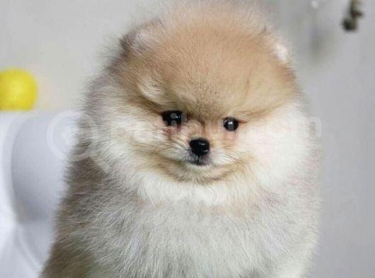 Tedy Face Pomeranian