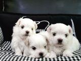 Baby Face Maltese Terier Yavrularımız