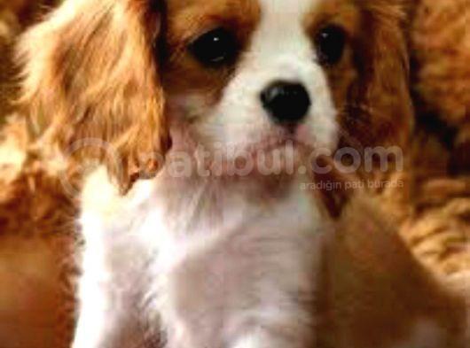 Kraliyet Köpeği Cavailer King Charles Yavruları
