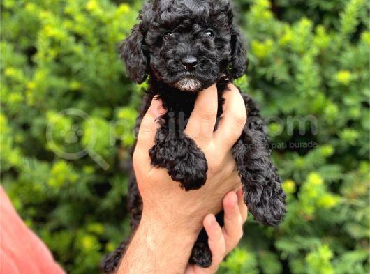 Siyah black dişi toy poodle bebeğimiz