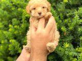 Apricot Dişi Toy Poodle Yavrumuz