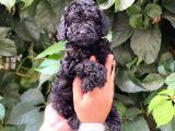 Black Siyah Dişi Toy Poodle Yavrularımız