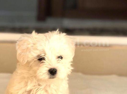 bebek yüzlü terrier yavruları