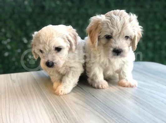 maltese terrier bebek yuzlu