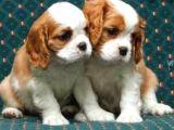2 aylık cavailer king charles yavruları