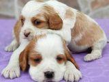 kraliyet ailesi köpeği cavalier